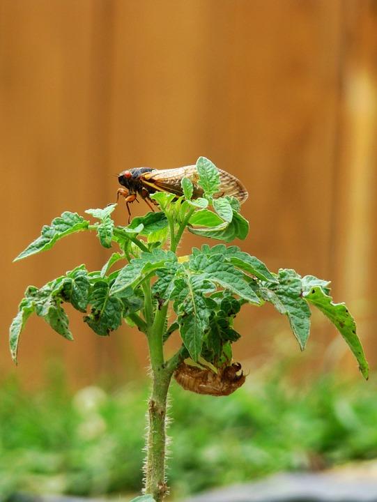 Cicada, Molted, Tomato Plant, Magicicada