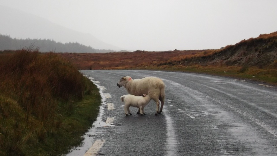 Sheep, Baby, Mom, Ireland, Travel, Animals