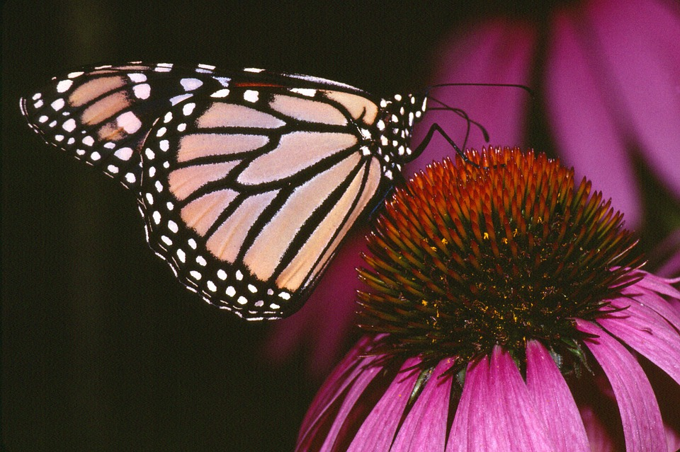 Monarch Butterfly, Insects, Flower