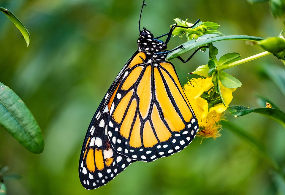Monarch, Butterfly, Butterfly Wings, Yellow Butterfly