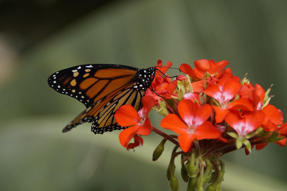 Butterfly, Monarch Butterfly, Edelfalter, Monarch