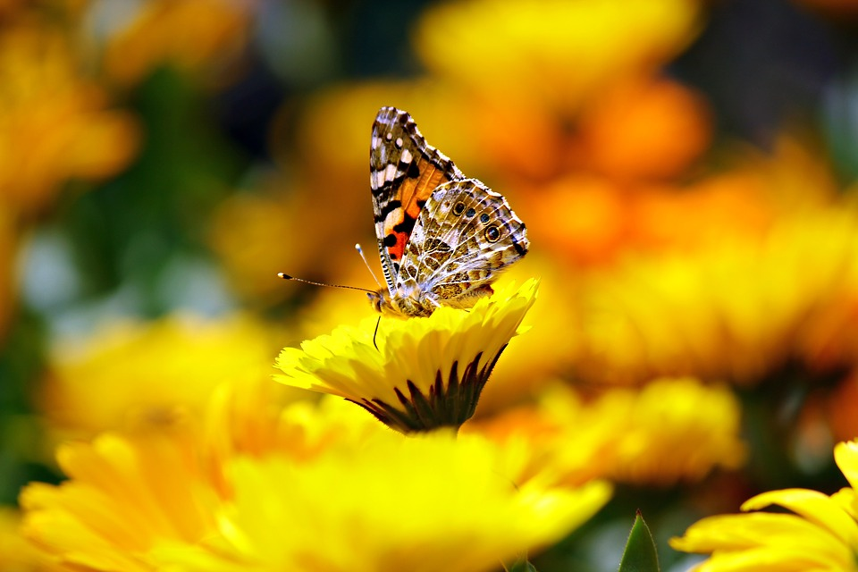 Butterfly, Insects, Animal, Morpho, Peleides, Monarch