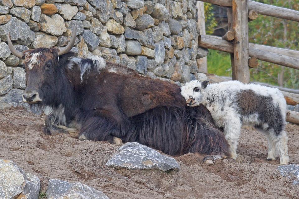 Yak, Mongolia, Beef, Himalayas, Young Animal