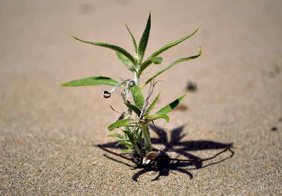 Plant, Grow, Growing Plant, Gobi, Desert, Mongolia, Dry