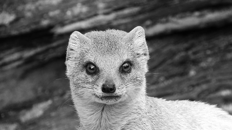 Mongoose Fox, African Beast, Mongoose