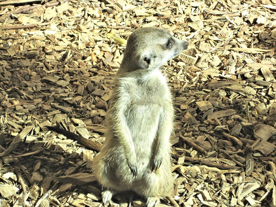 Meer Cat, Mongoose Family, Zoo, Canada