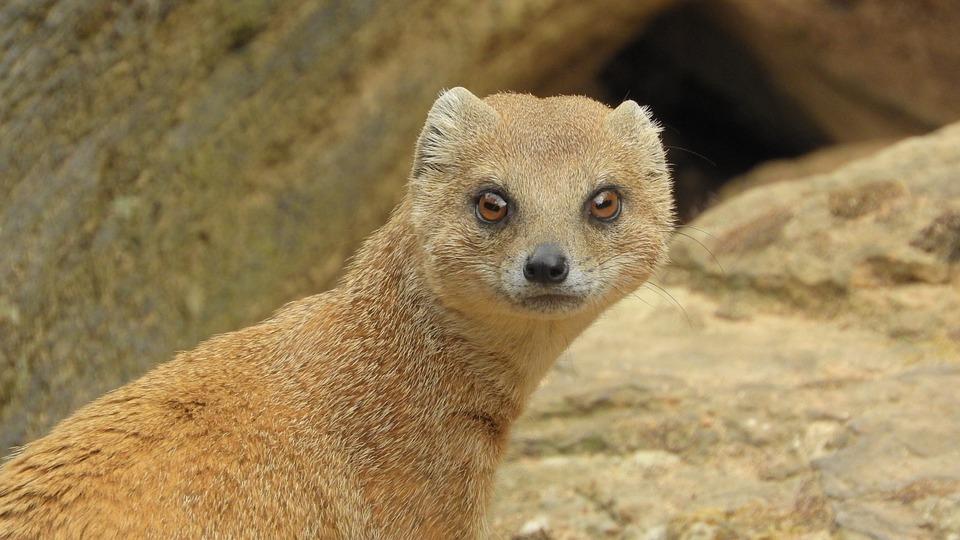 Mongoose Fox, African Beast, Mongoose
