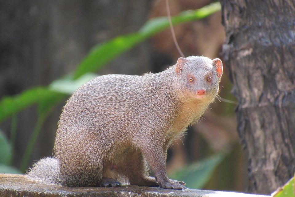 Mongoose, Wildlife, Nature, Indian