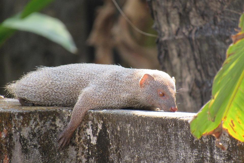 Mongoose, Indian, Rare, Resting