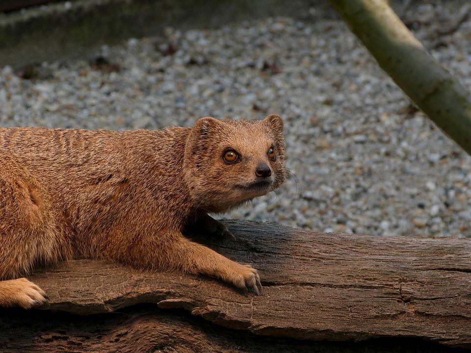 Mongoose, Animal, Small, Brown, Exotic, Zoo