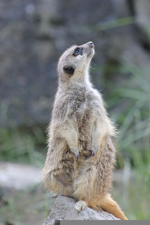 Meerkat, Suricate, Mongoose, Suricata Suricatta