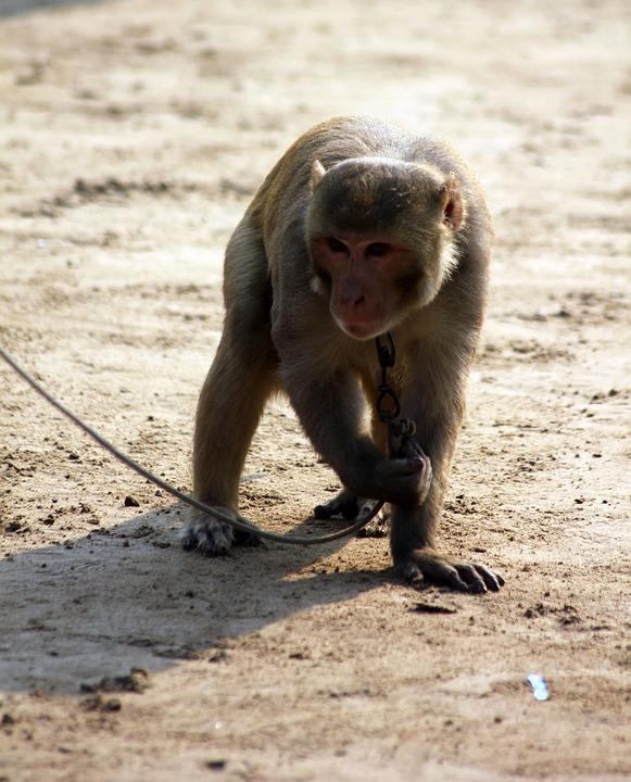Monkey, Animal, Chained, Leash, Mammal, Ape