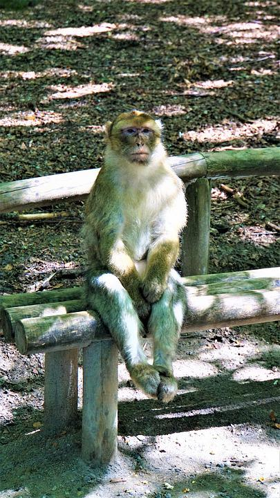 Barbary Ape, Sitting, On A Bench, Monkey, Animal