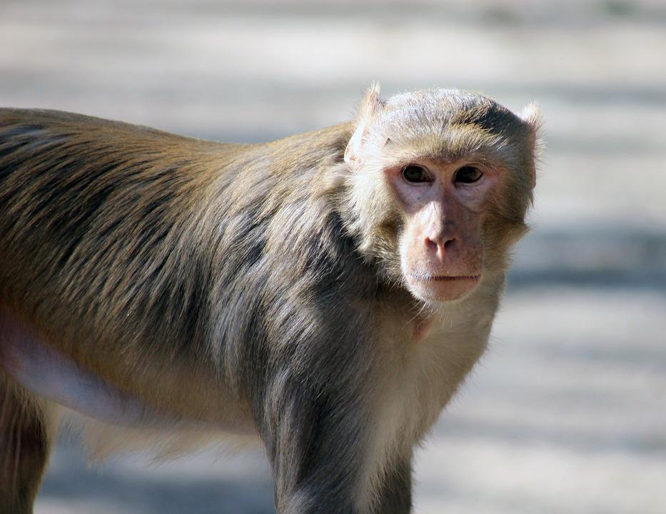 Monkey, Brown, Animal, Ape, Wild, Mammal, Wildlife