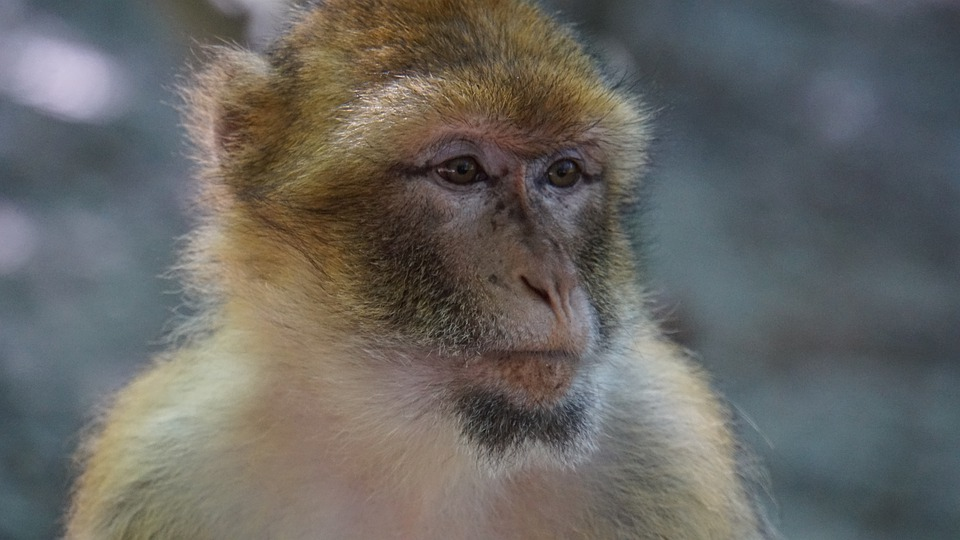 Barbary Ape, Monkey, Mammal, Animal, Animal Portrait
