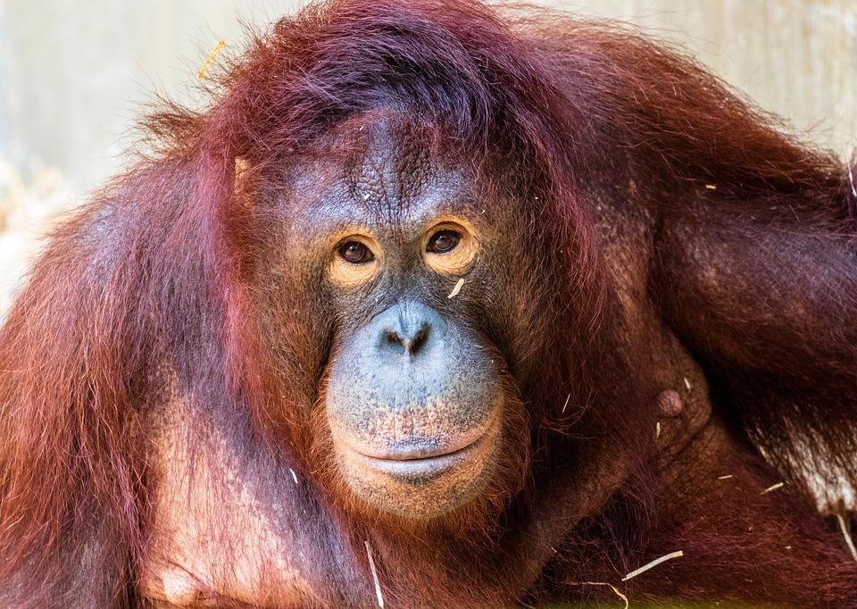 Monkey, Primate, Oranguta, Animal, Animal World, Mammal