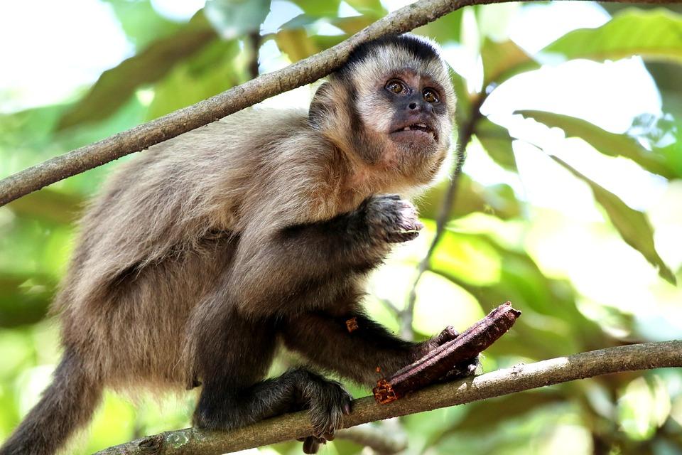 Monkey, Nail, On The Branch, Animal, Primate, Wild