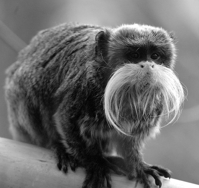 Monkey, Animal, Primate
