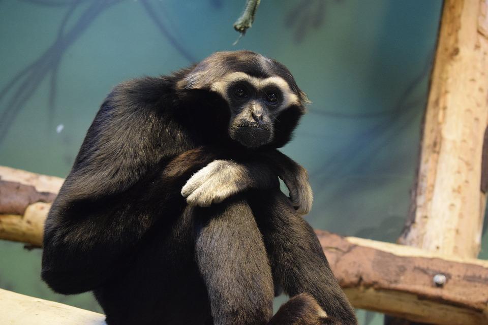 Blackpool, Blackpool Zoo, Monkey, Primate, Mammal