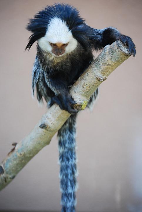 Monkey, Blue, White