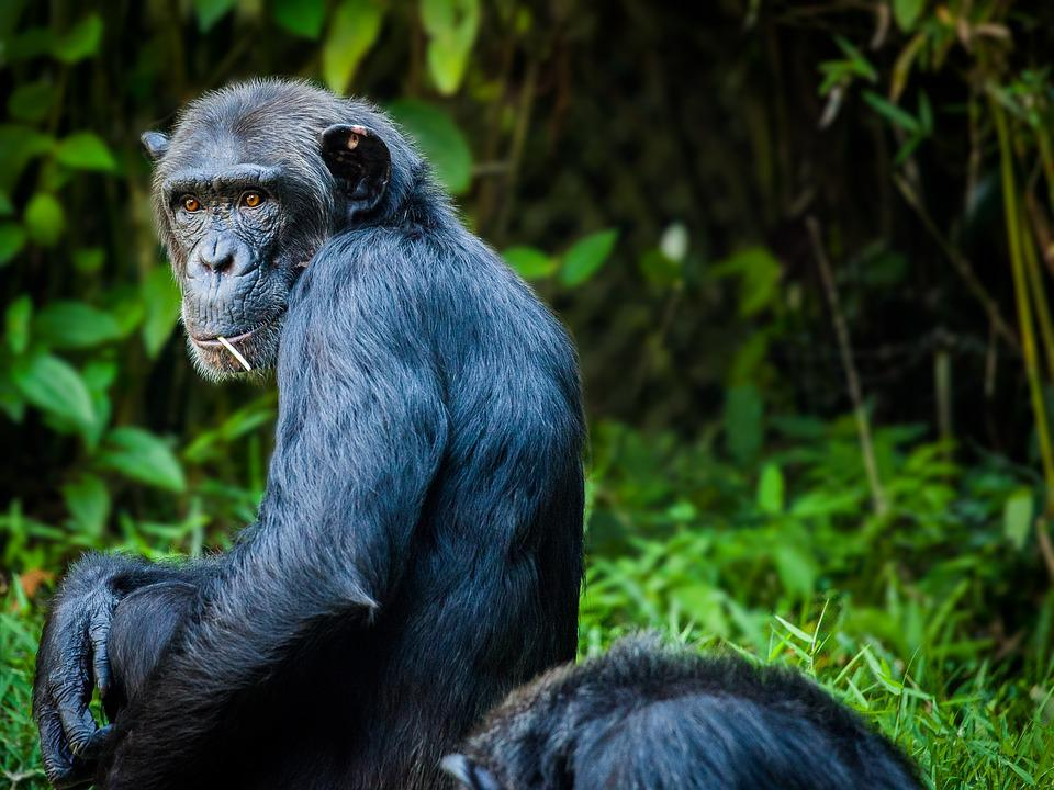 Chimpanzee, Monkey, Ape, View