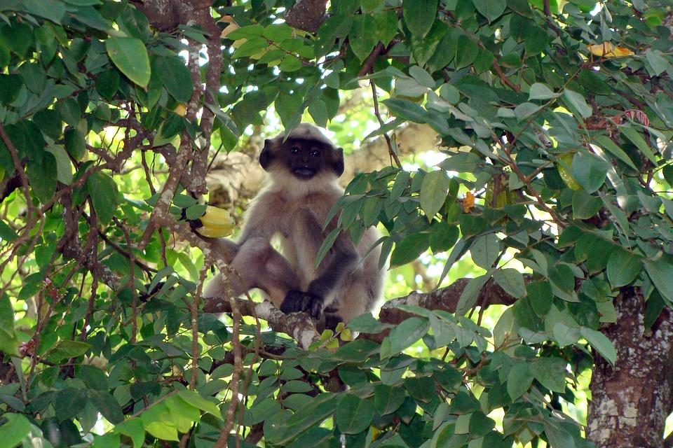 Hanuman Langur, Baby, Monkey, Starfruit Tree, Dharwad