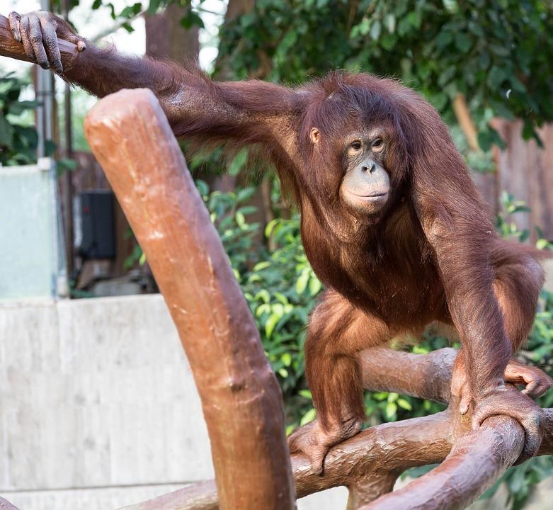Orang-utan, Monkey, Zoo, Forest Human