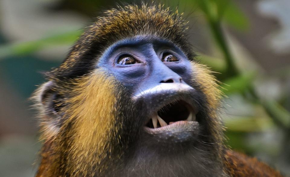 Monkey, Animal, Furry, Portrait, Tierpark Hellabrunn