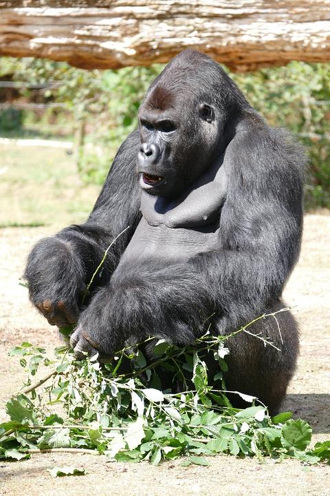 Gorilla, Ape, Monkey