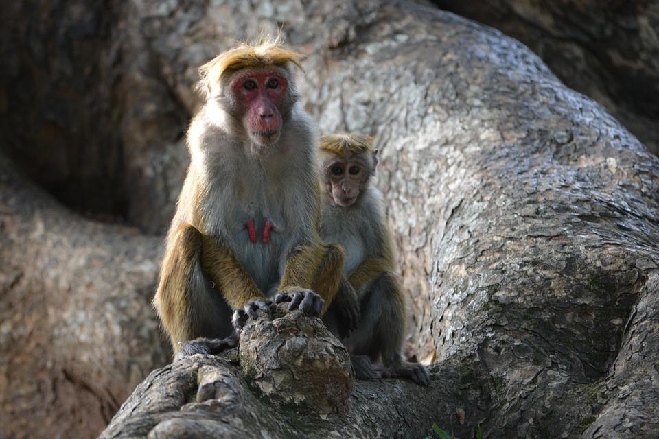 Monkey, Primate, Ape, Wildlife, Nature, Wild, Macaque