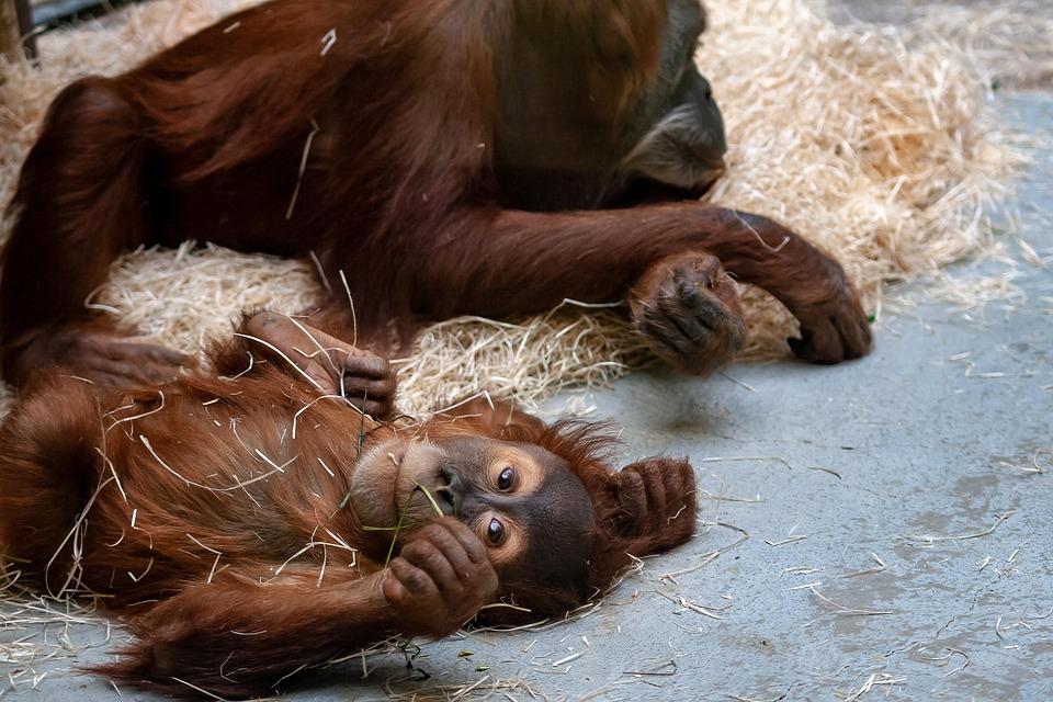 Zoo, Monkey, Ape, Baby, Animal, Mammal, Wildlife
