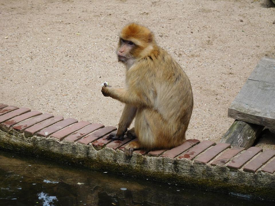 Monkey, Wildlife, Mammals, Primates
