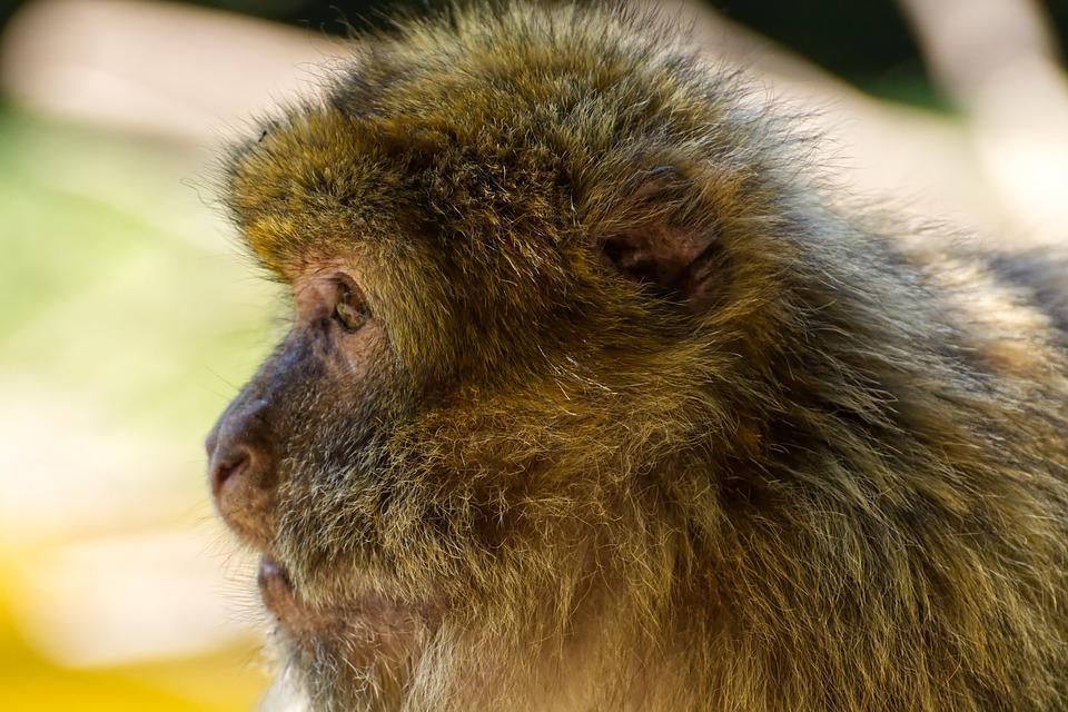 Barbary Ape, Endangered Species, Monkey Mountain Salem