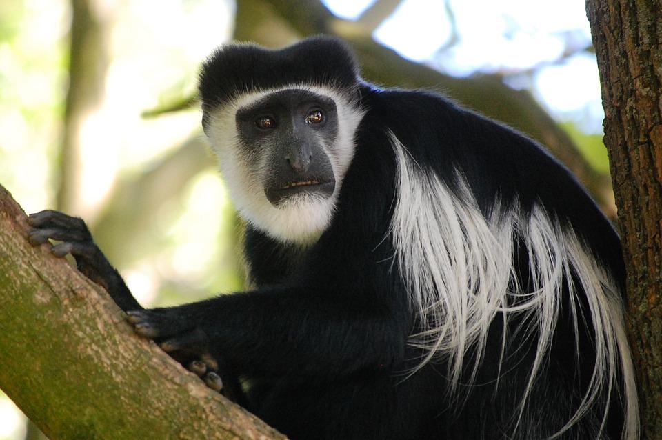 Monkey, Black, Animal, Nature, Fur, Primate