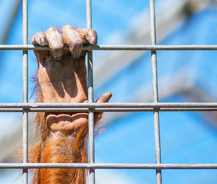 Monkey, Orang Utan, Monkey Hand, Zoo, Nature