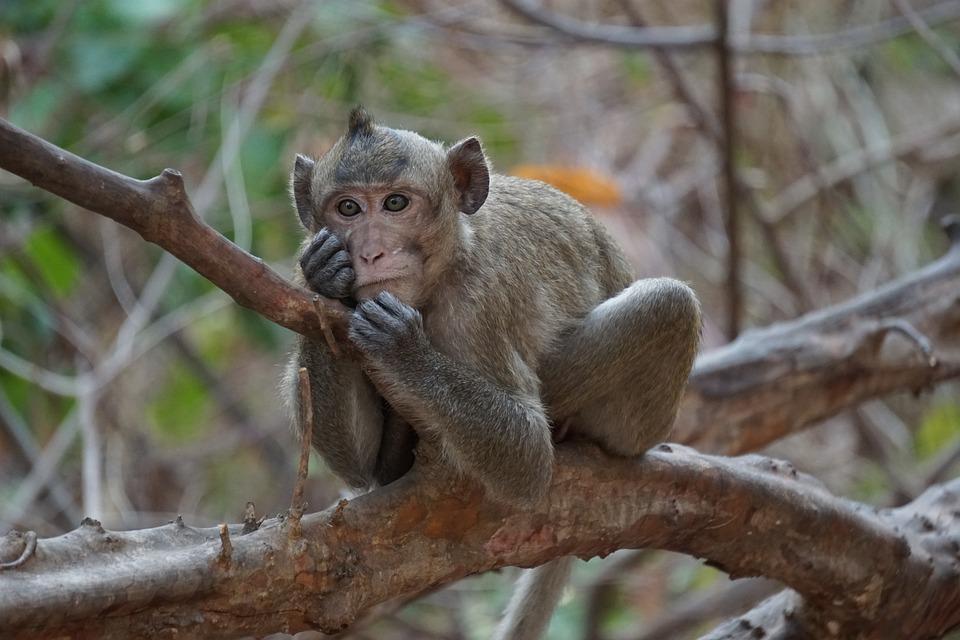 Monkey, Wildlife, Nature, Monkeys, Animal