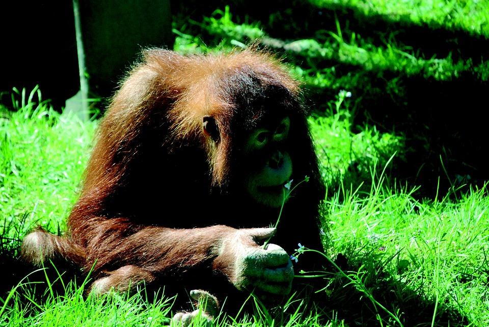 Monkey, Zoo, Orang Utan, Animal Portrait, Animal World