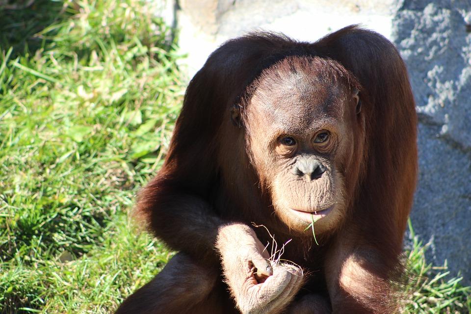 Orang Utan, Ape, Nature, Primate, Monkey, Orangutan