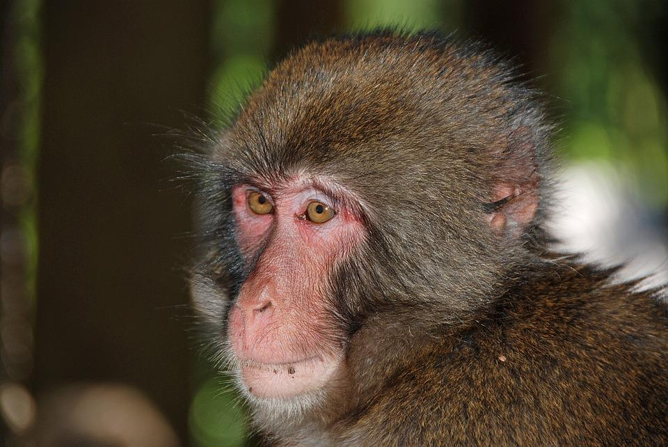 Makake, Monkey, Wildlife Photography, Monkey Portrait