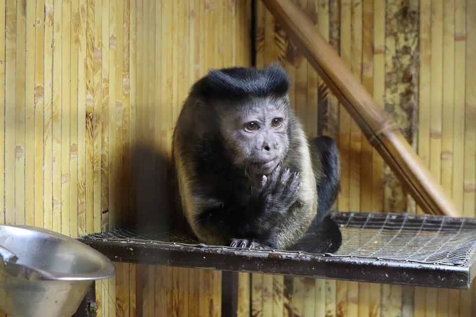Brown Capuchin, Monkey, Capuchin, Animals, Zoo, Primacy