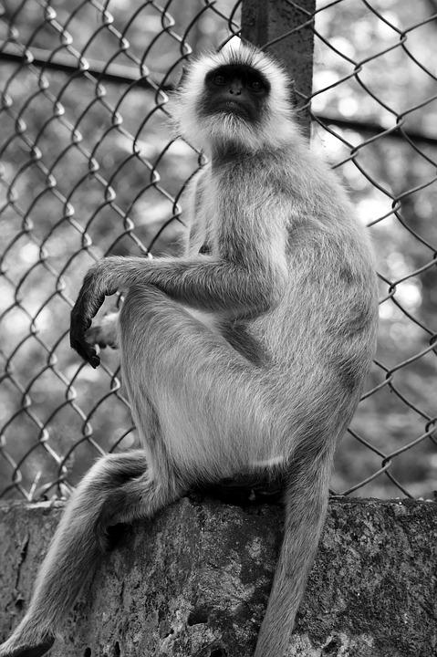 Monkey, Primate, Ape, Wildlife, Mammal