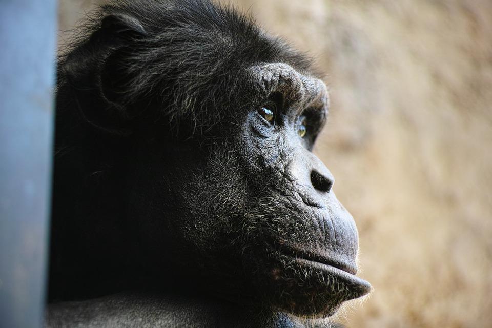 Chimp, Monkey, Face, Profile, Facial Expressions