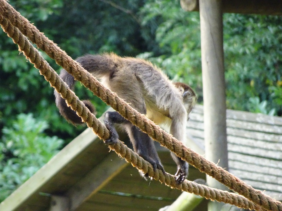 Monkey, Ropes, Squirrel Monkey