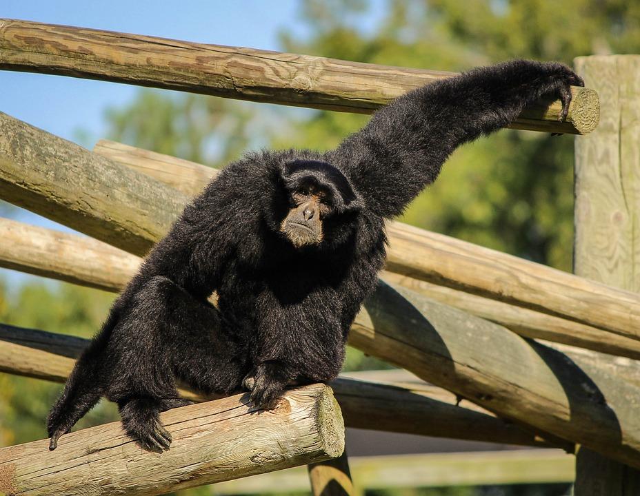 Monkey, Siamang, Gibbon, Black-furred Gibbon, Ape
