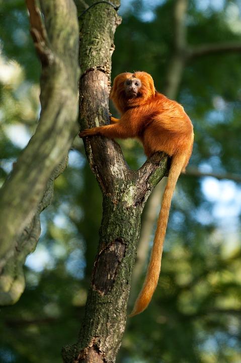 Monkey, Red, Tree, Nature, Animal