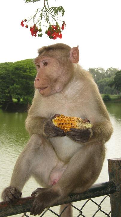Monkey, Animal, Wildlife, India