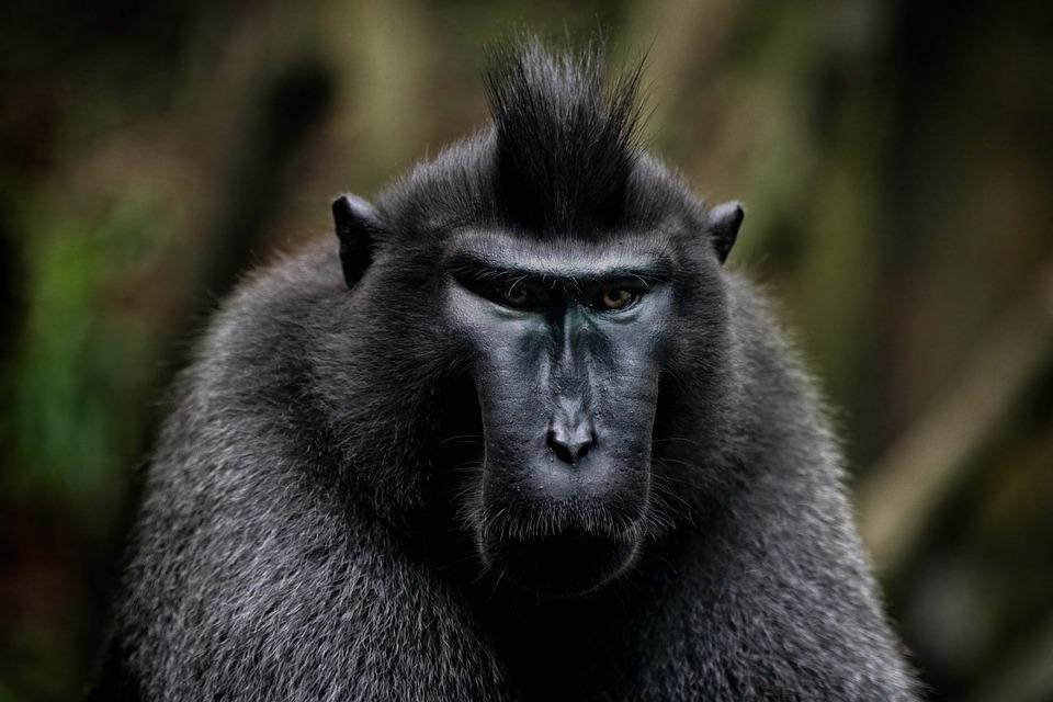 Animal, Celebes Crested Macaque, Wildlife, Monkey