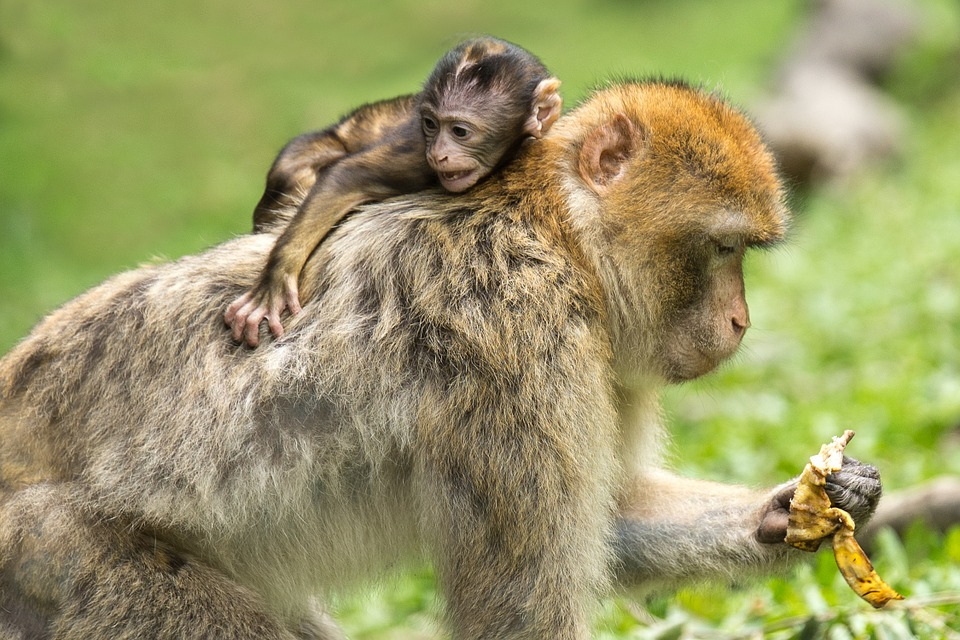 Young Animal, Monkey, Barbary Ape, Mammal, äffchen