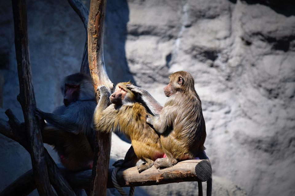 Monkey, Apes, Zoo