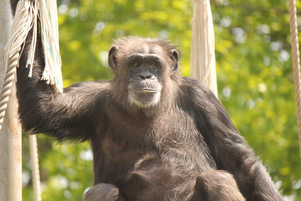 Chimp, Animal, Zoo, Monkey